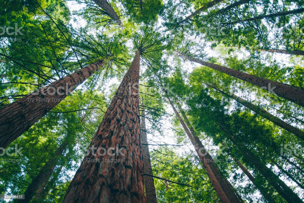 Redwood forest – Foto