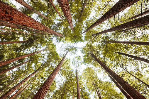 A directly above view of a redwood forest