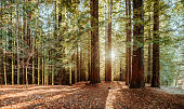 A panoramic view of a redwood forest with sun rays coming from it.