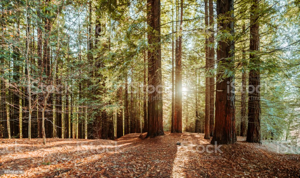 Redwood forest - foto stock