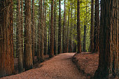 A redwood forest at sunset
