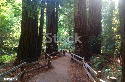 Walking beneath the canopy of the majestic Red Woods in California