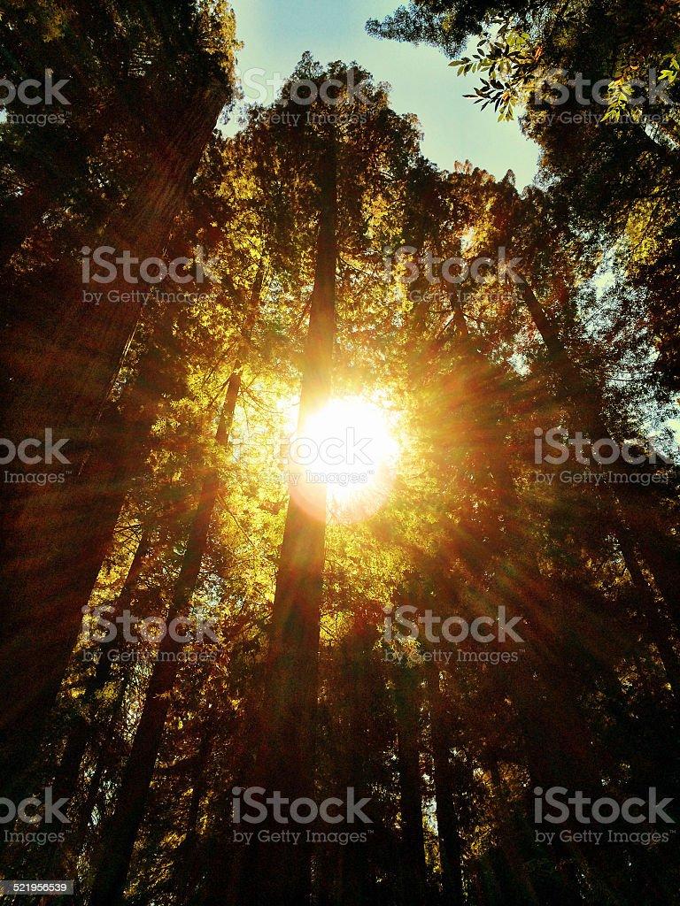 Redwood Grove Sun stock photo
