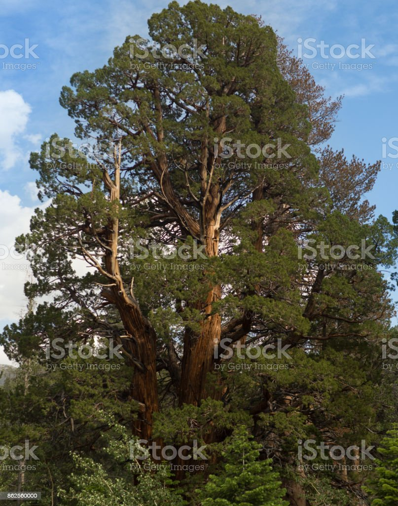 Redwood in the wild royalty-free stock photo