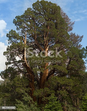 Redwood In The Wild Stock Photo & More Pictures of Awe