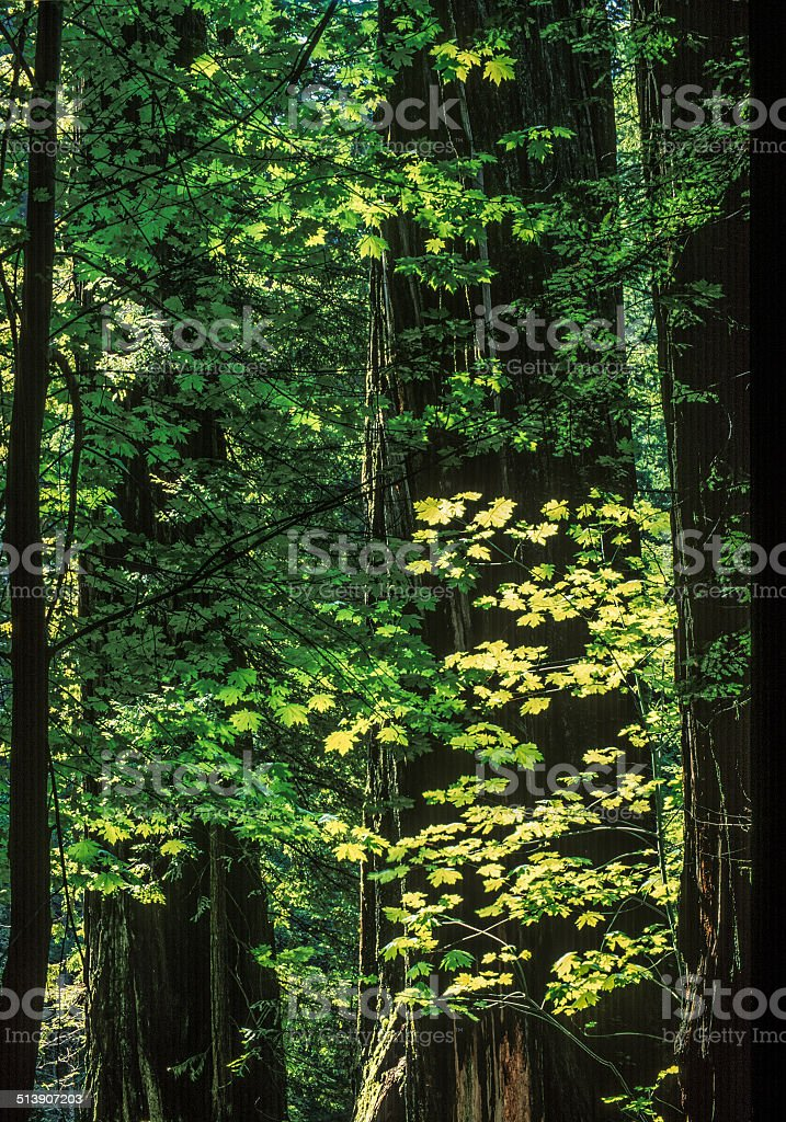 Redwood Maple Fall stock photo