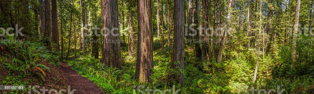 Redwood National Park earth trail through cloud forest panorama California stock photo