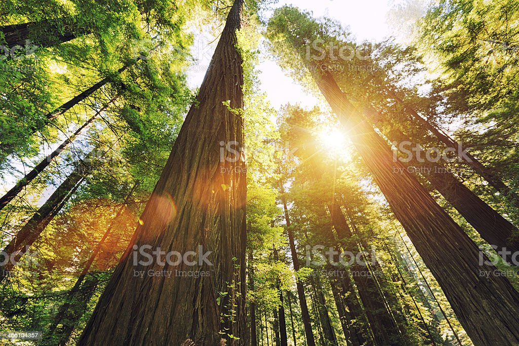 Redwood National Park Looking up at sequoia trees. California Stock Photo