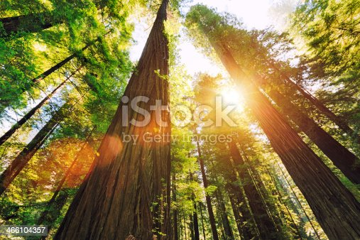 Looking up at sequoia trees.
