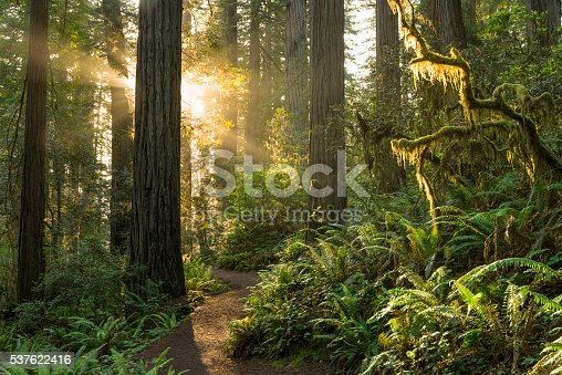 Sunrise on the trail, Redwood Forest