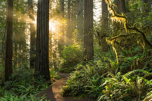 Redwood National Park Sunrise on the trail, Redwood Forest redwood tree stock pictures, royalty-free photos & images