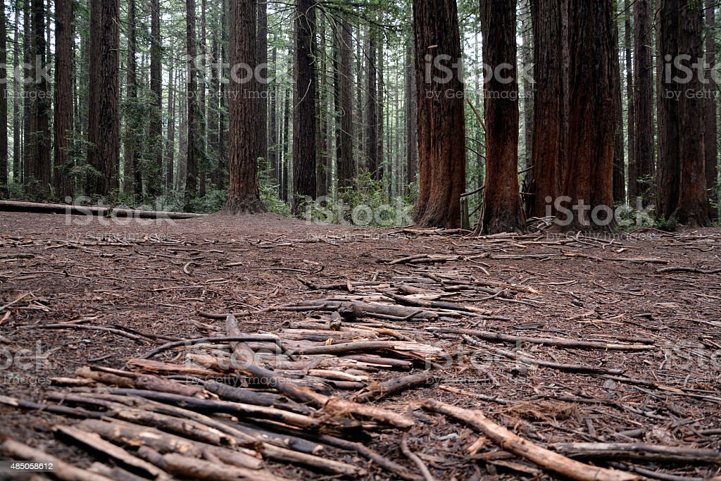 Redwood path of branches stock photo