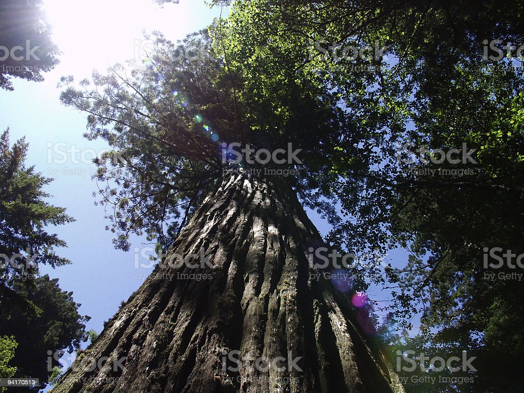 Redwood royalty-free stock photo