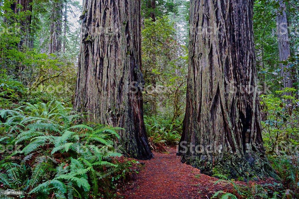 Redwood Pillars stock photo