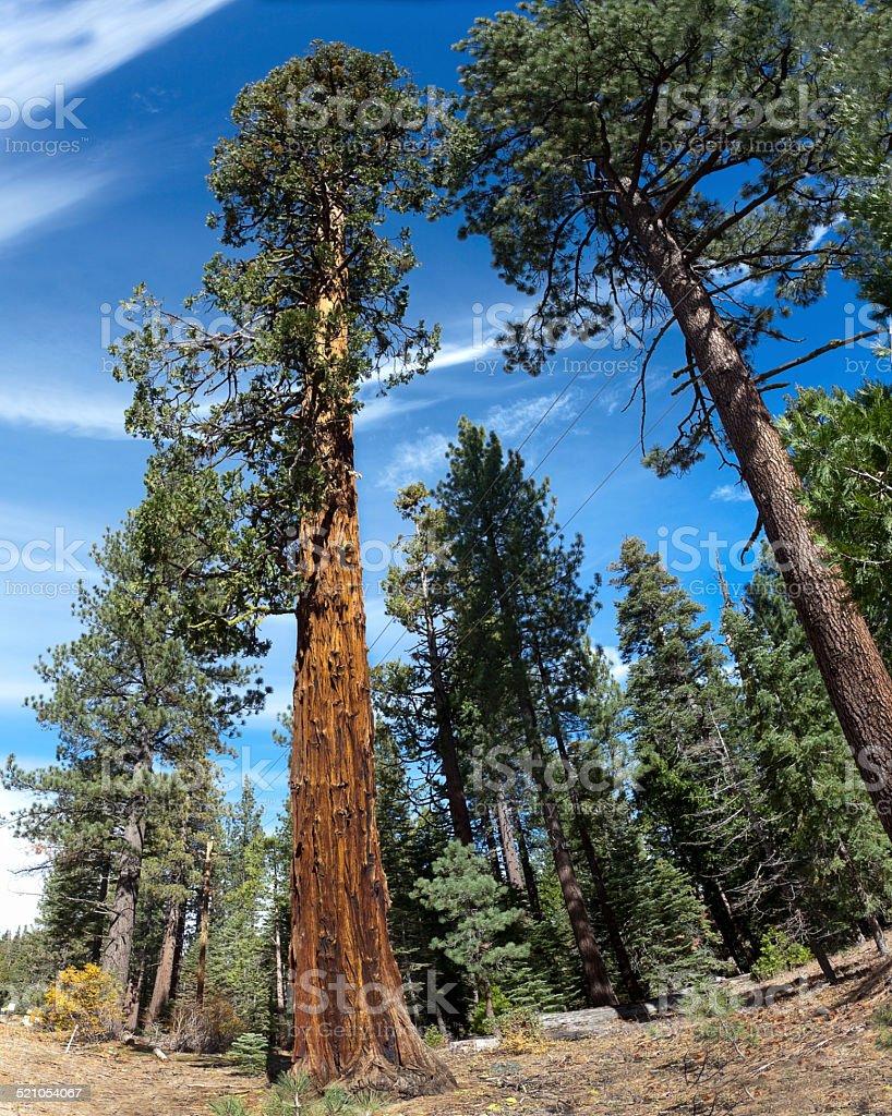 Redwood Sequoia Pine stock photo