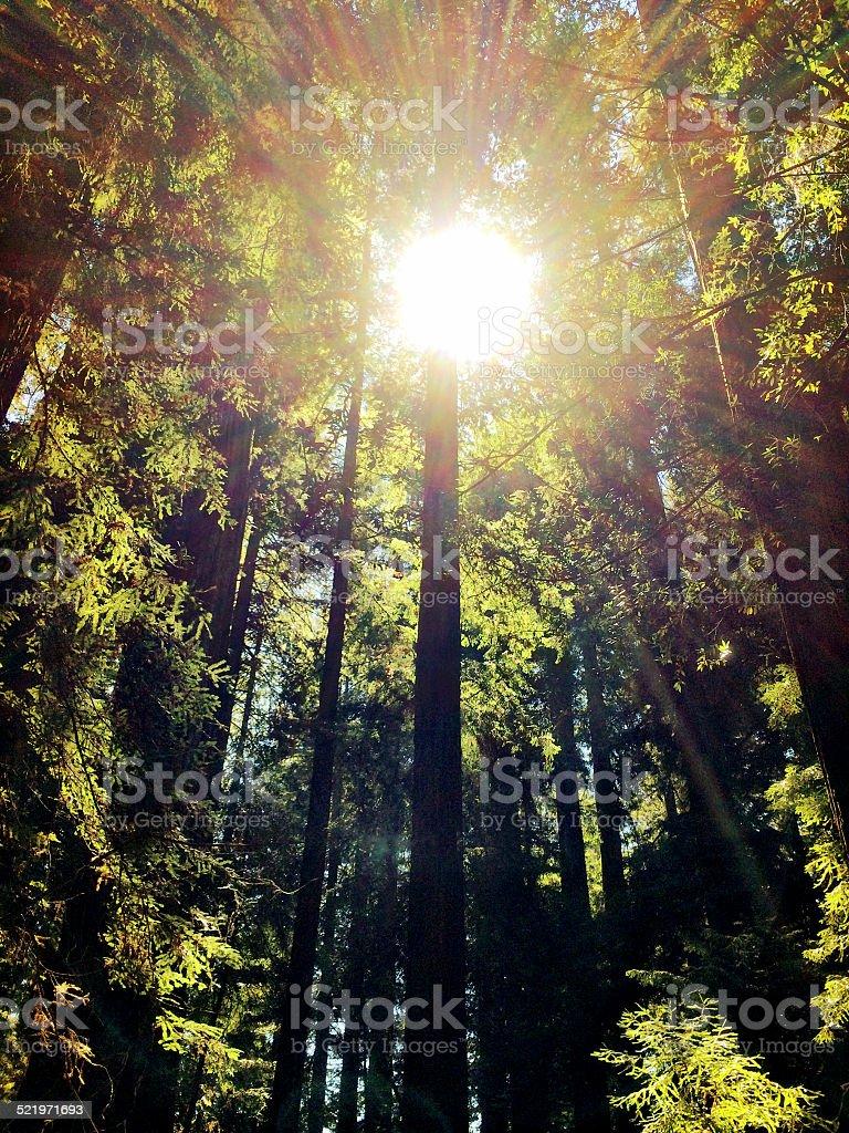 Redwood Star stock photo