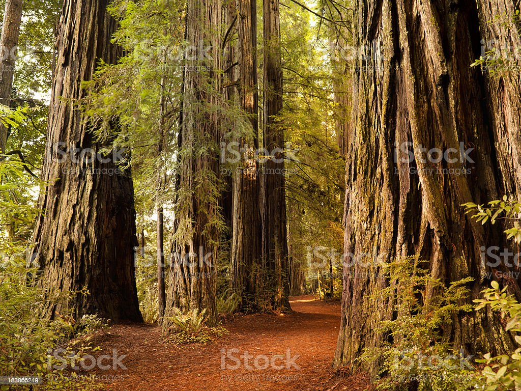 Redwood trail through trees in the forest stock photo