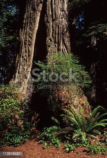 Redwood Tree Base - Redwood National Park, September 1978. Scanned from Kodachrome slide.