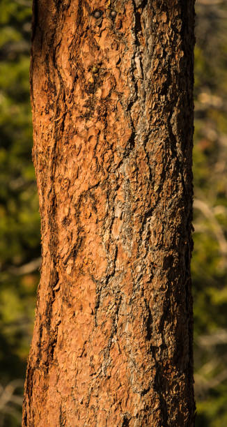 Redwood tree detail in Rocky Mountain National Park Redwood tree detail in Rocky Mountain National Park rocky mountain national park stock pictures, royalty-free photos & images