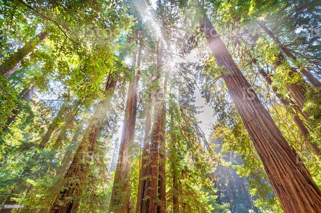 Redwood Trees and Sunshine in Muir Woods National Monument California stock photo