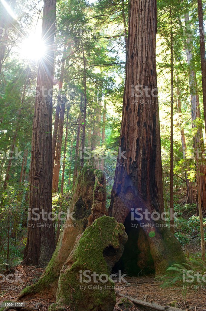 Redwood trees in Muir Woods National Park with lens flare royalty-free stock photo