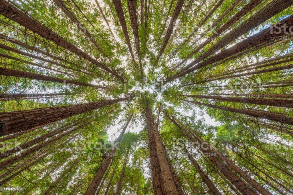 Redwood trees in Rotorua, New Zealand royalty-free stock photo