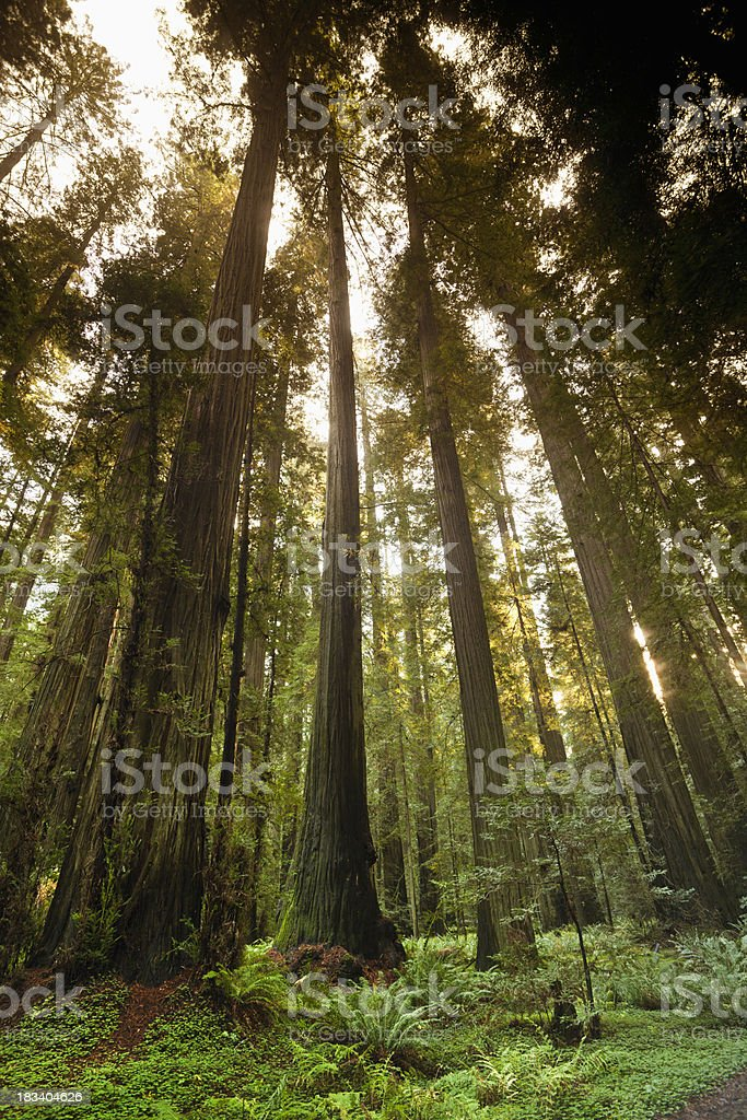 Redwood trees in the forest royalty-free stock photo