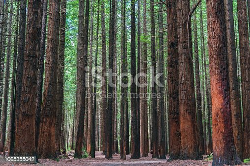 A photograph taken along a walking trail in the Redwood Forest in Rotorua, New Zealand