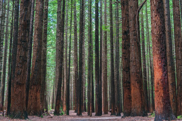 Redwood trees A photograph taken along a walking trail in the Redwood Forest in Rotorua, New Zealand redwood tree stock pictures, royalty-free photos & images