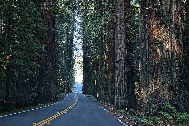 redwood trees - aleks66 stock pictures, royalty-free photos & images