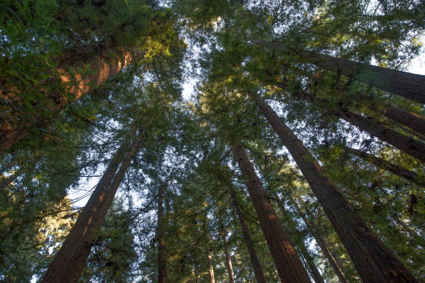 Redwood Trees Redwood trees from low angle perspective jude beck stock pictures, royalty-free photos & images