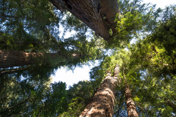 Redwood Trees Redwoods trees looking up jude beck stock pictures, royalty-free photos & images