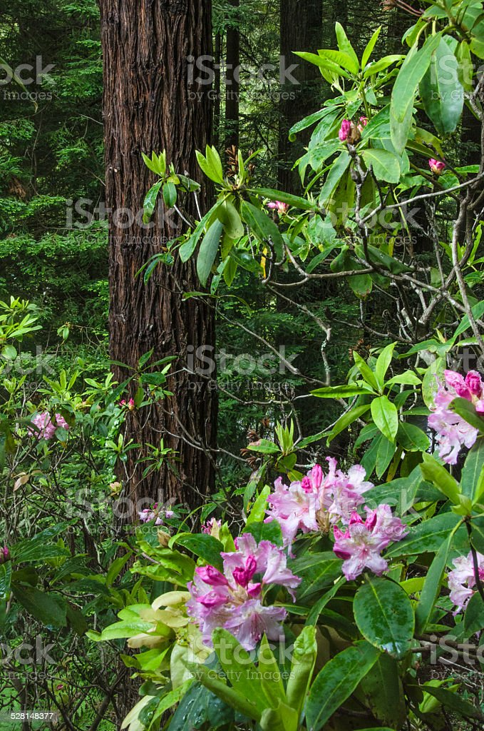 Redwoods and Rhododendrons stock photo
