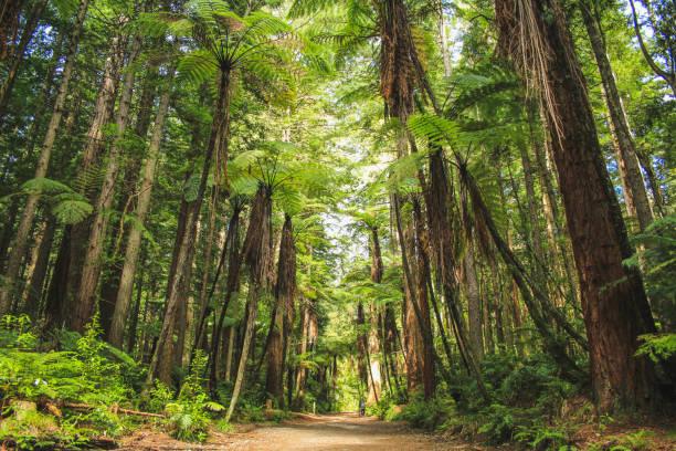 Redwoods at Whakarewarewa Forest in Rotorua, North Island, New Zealand very tall redwood trees in New Zealand whakarewarewa stock pictures, royalty-free photos & images