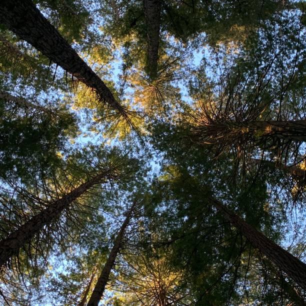 Redwoods at Whakarewarewa stock photo