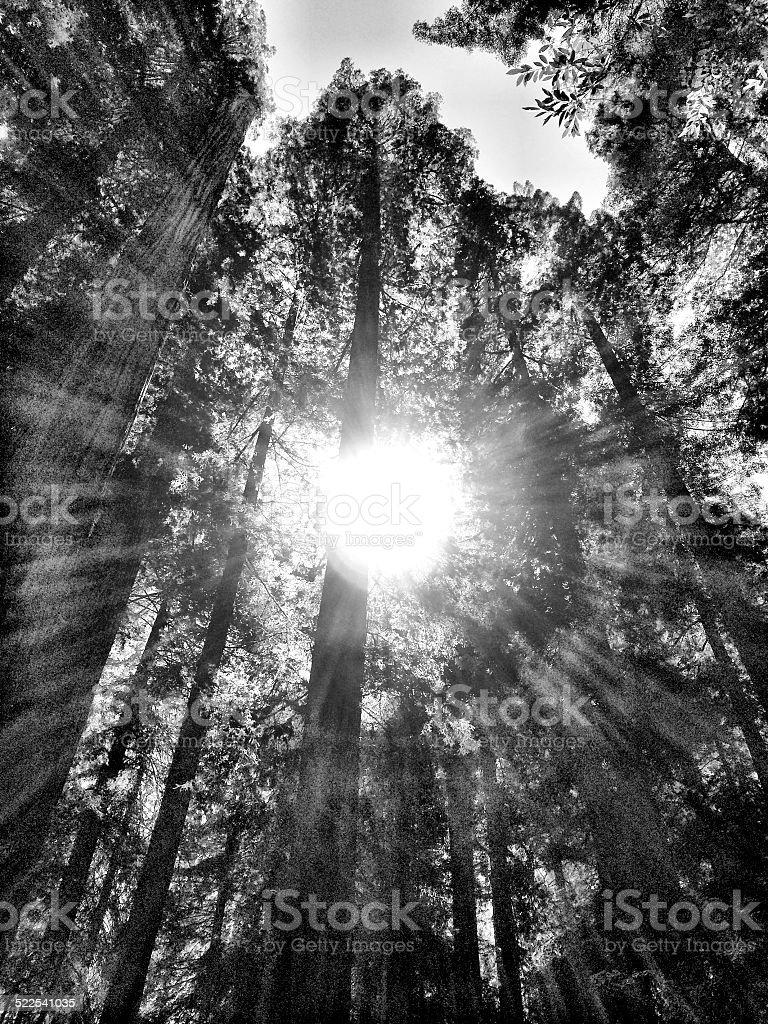 Redwoods in Black and White stock photo