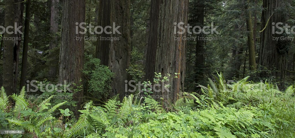 Redwoods, Jedediah Smith Redwood State Park stock photo