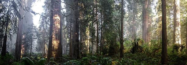Redwoods Panorama stock photo