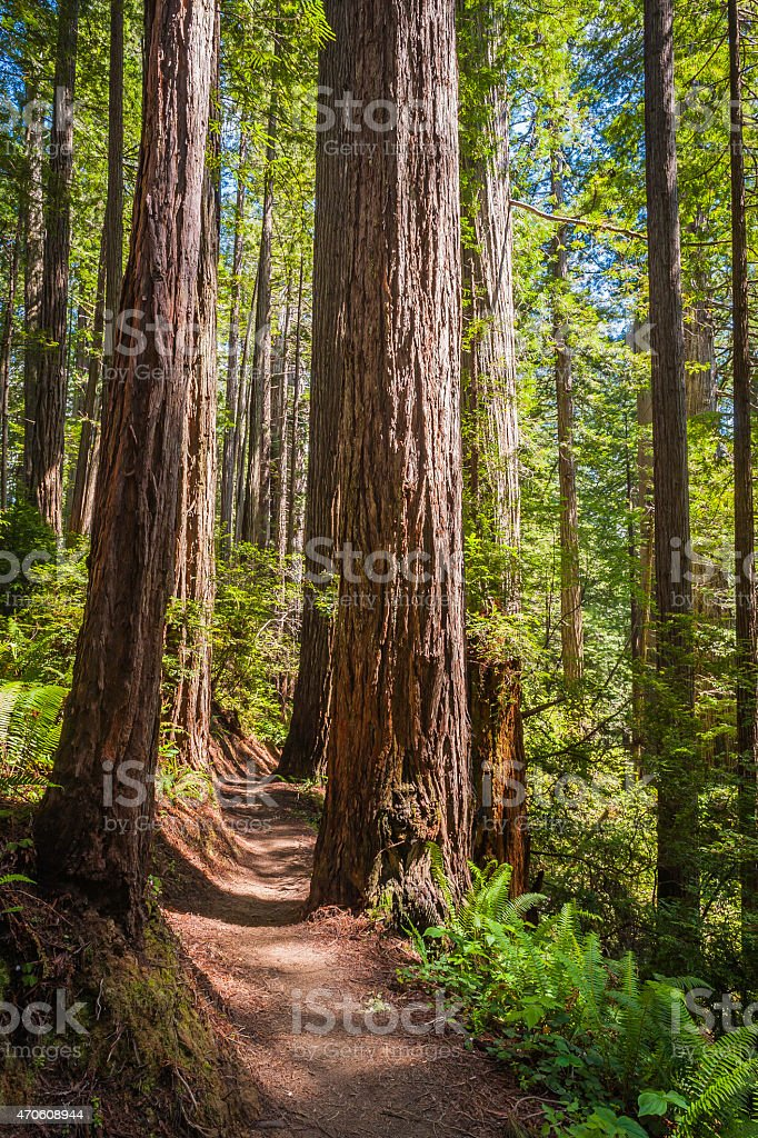 Redwoods Sequoias soaring in cloud forest Redwood National Park California stock photo