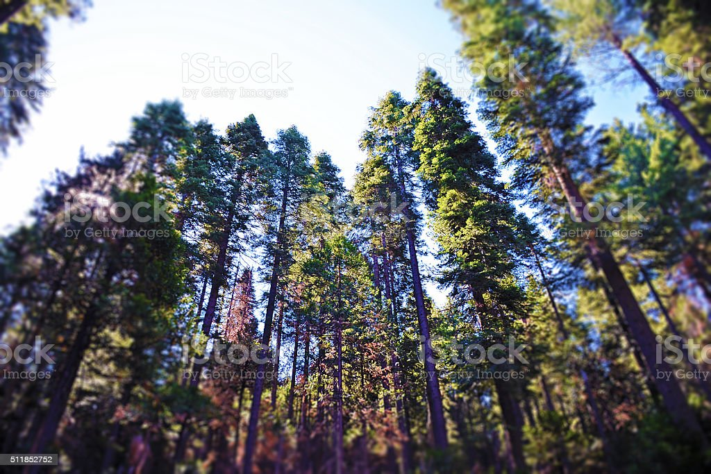 Redwoods, Yosemite National Park stock photo
