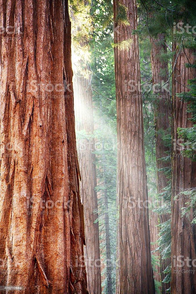 Redwoods, Yosemite stock photo