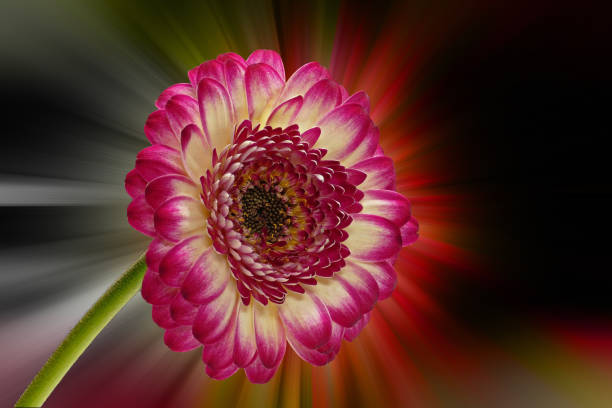 Red-yellow gerbera with black background stock photo