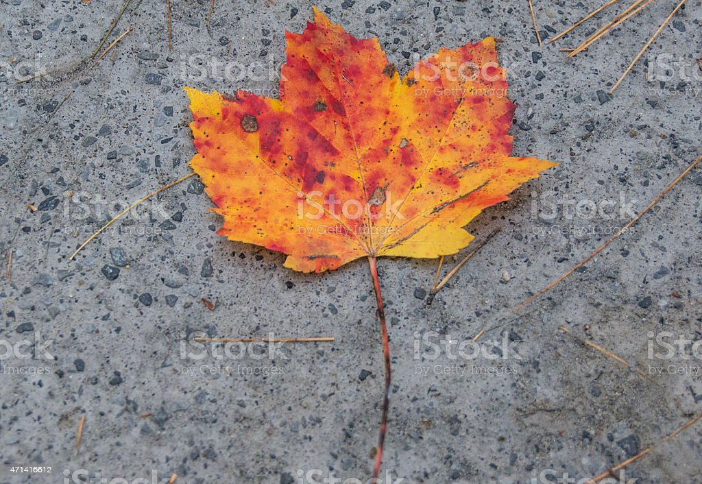 Red-Yellow Maple Leaf stock photo