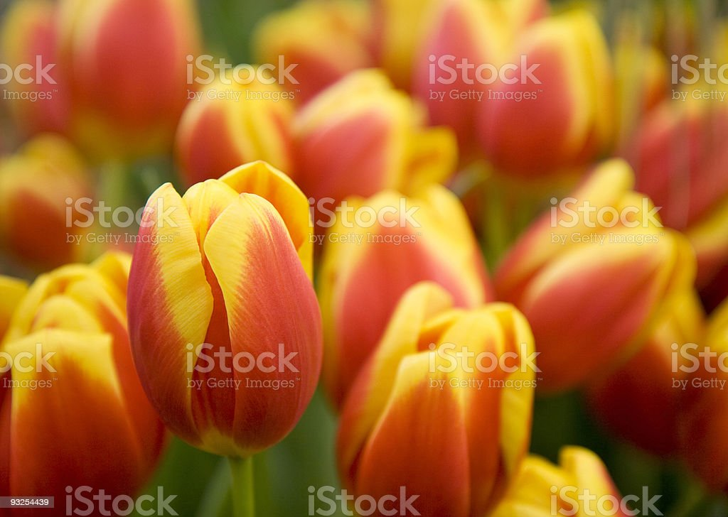 Red/yellow tulips stock photo