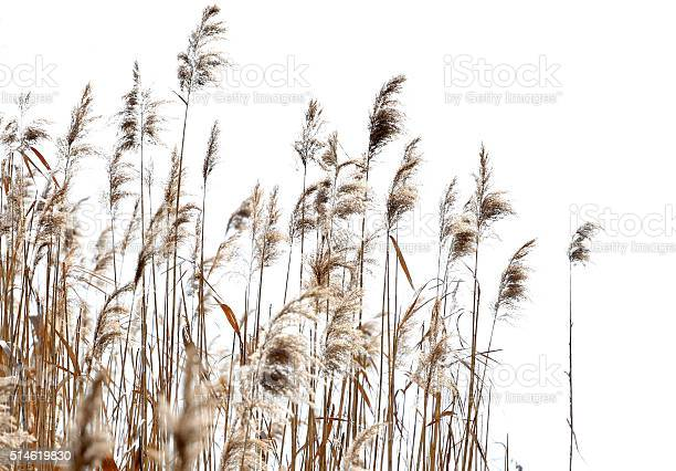 Dried reed against white background