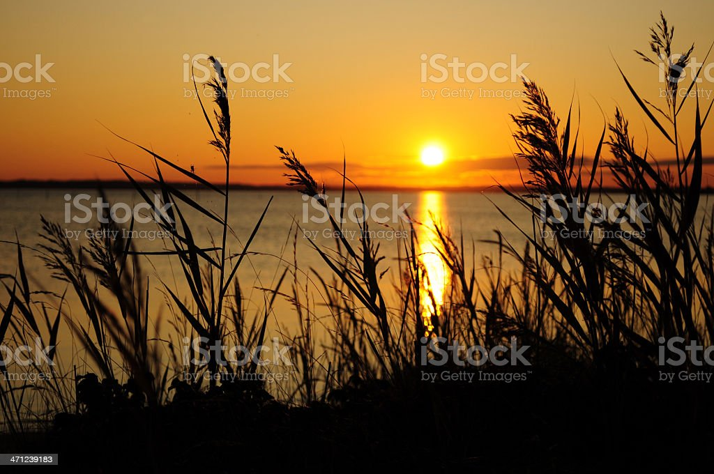 Reed and grass at sunset royalty-free stock photo