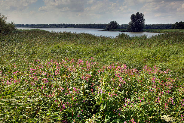 Reed bed partly overgrown by Himalayan Balsam stock photo
