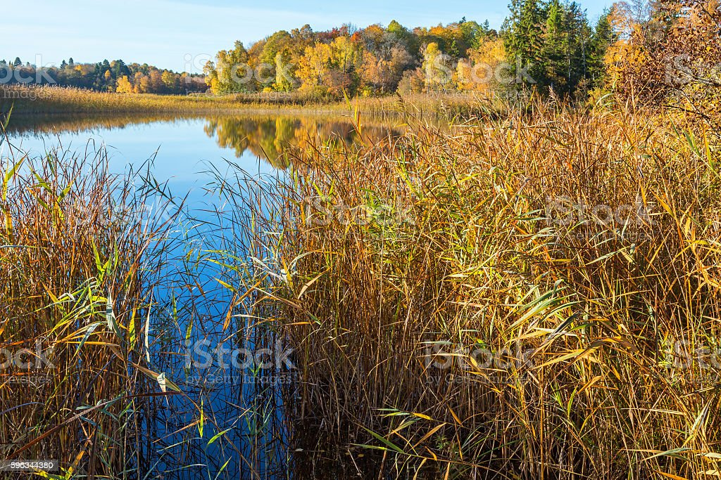 Reed Belt on the banks of the lake in fall royalty-free stock photo