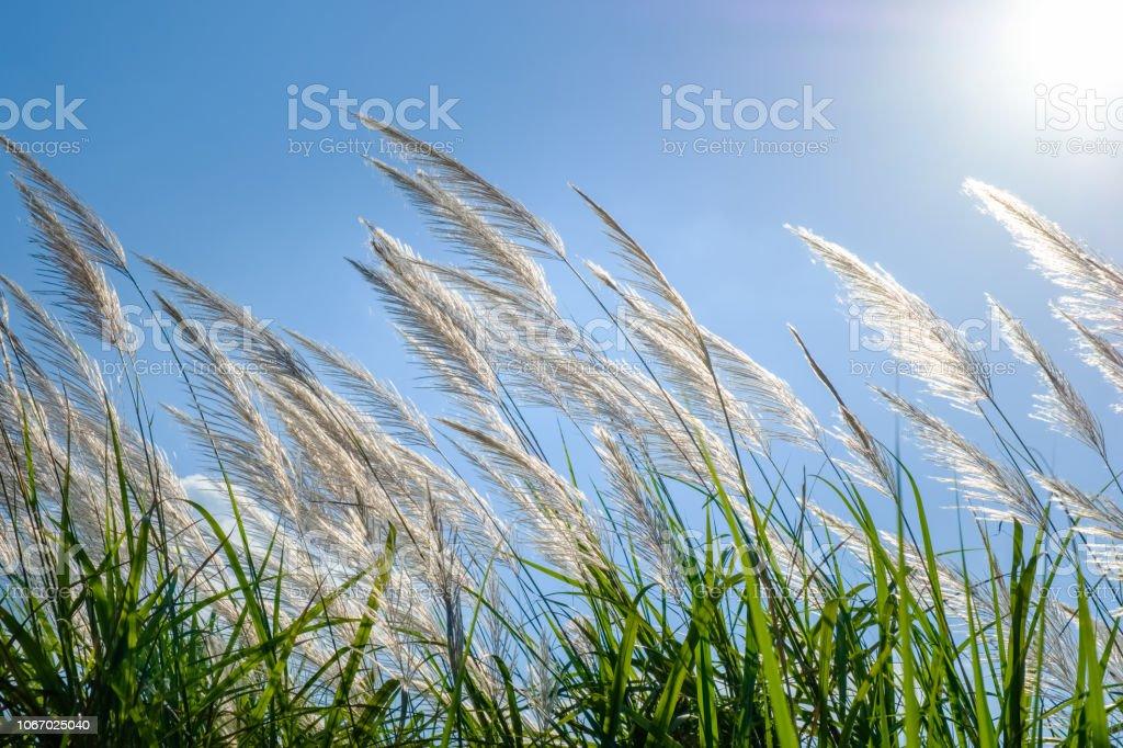 Reed, blühen – Foto