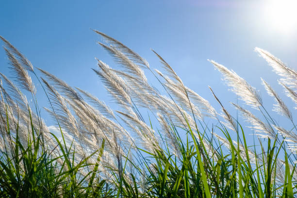 Reed Blooming White reed sway in the wind on blue sky, winter in Thailand bending stock pictures, royalty-free photos & images